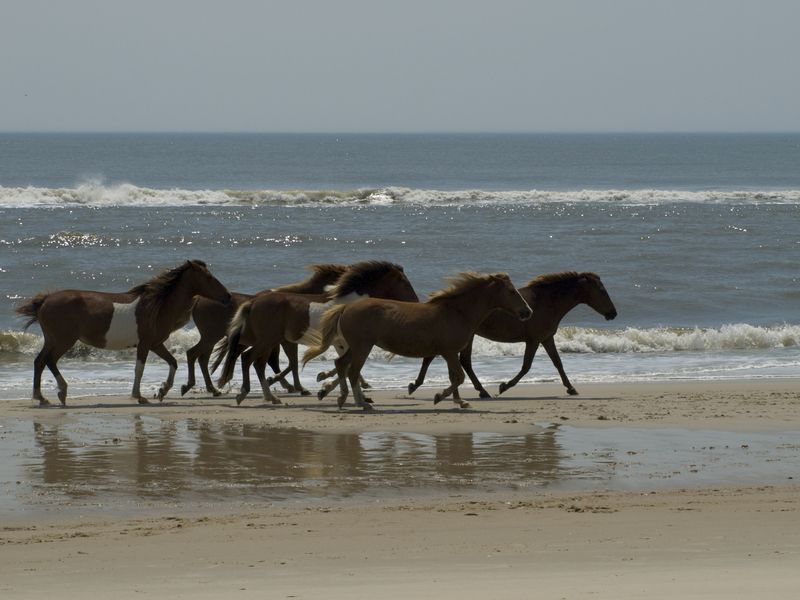 Wild horses run on the beach in Assateague, Maryland(Stacy Gold,Nat Geo,Getty)